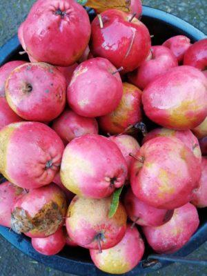 Hidden Huntley apples